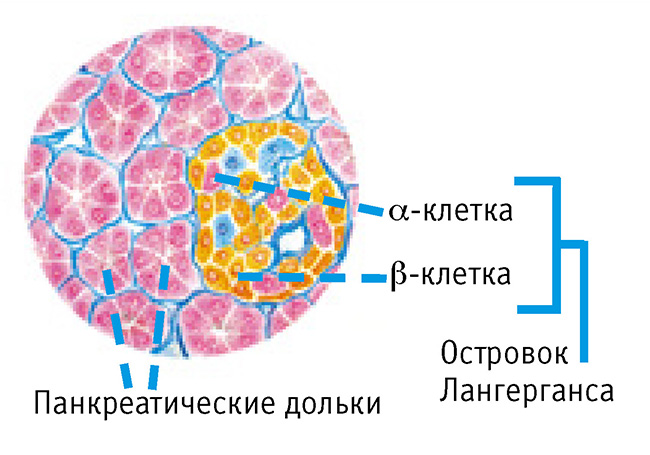 панкреатические-дольки